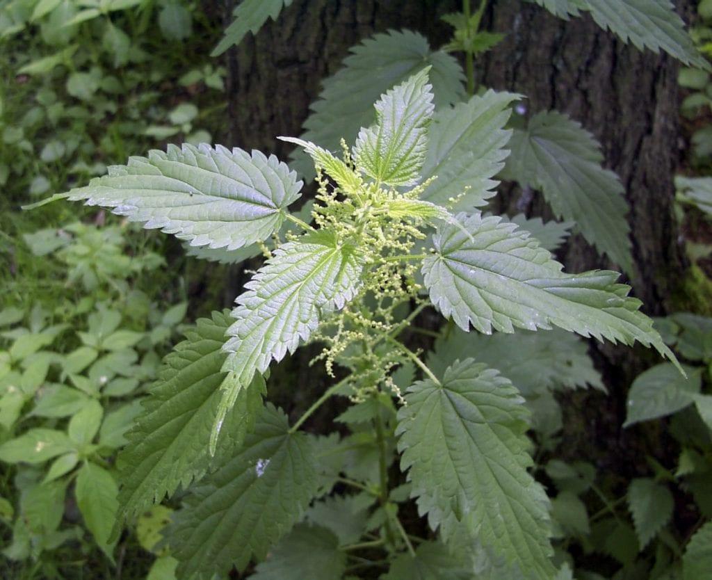 Poisonous Plants - Stinging Nettle