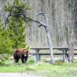 Avoiding Bear Problems 1