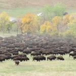 Custer State Park Buffalo Roundup 2